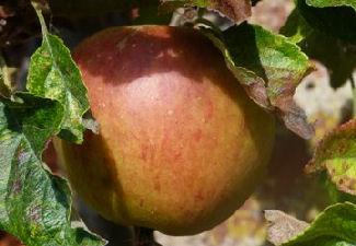 Apples from The Carse of Gowrie