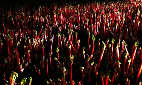 Forced Yorkshire Rhubarb on 63 Tay Street Blog by Graeme Pallister